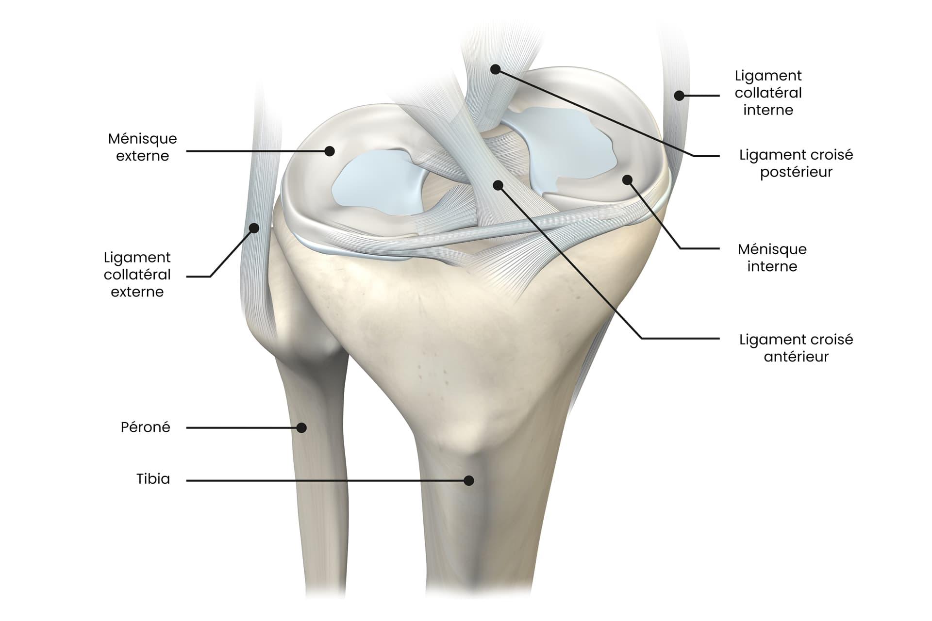 Schéma des ménisques du genou