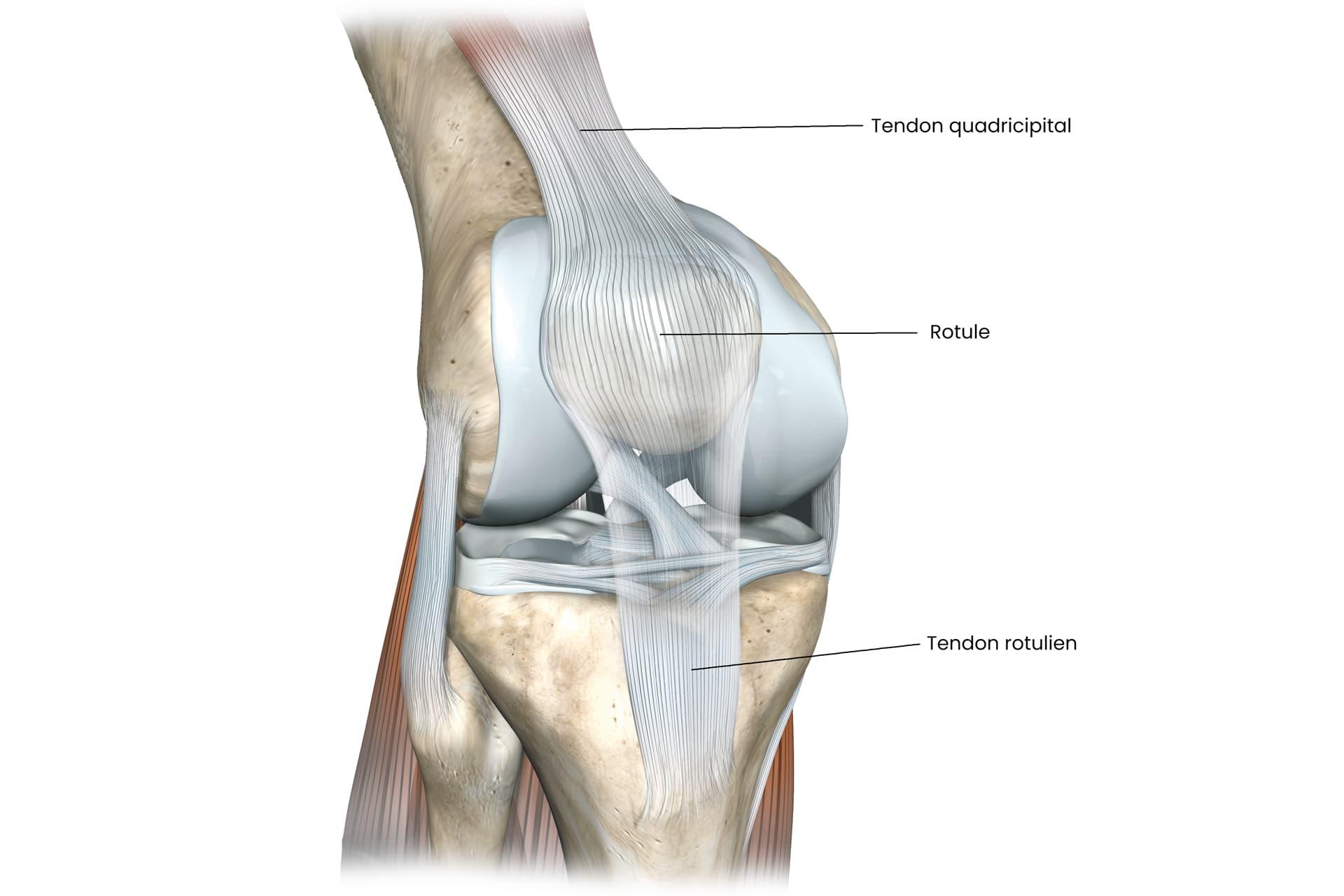 Tendons de l'appareil extenseur du genou
