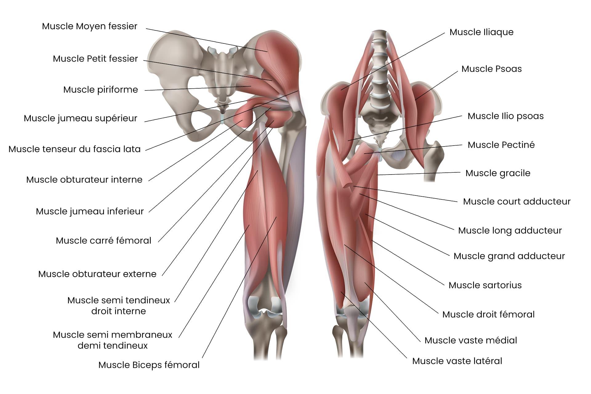 Schema anatomique des muscles de la hanche
