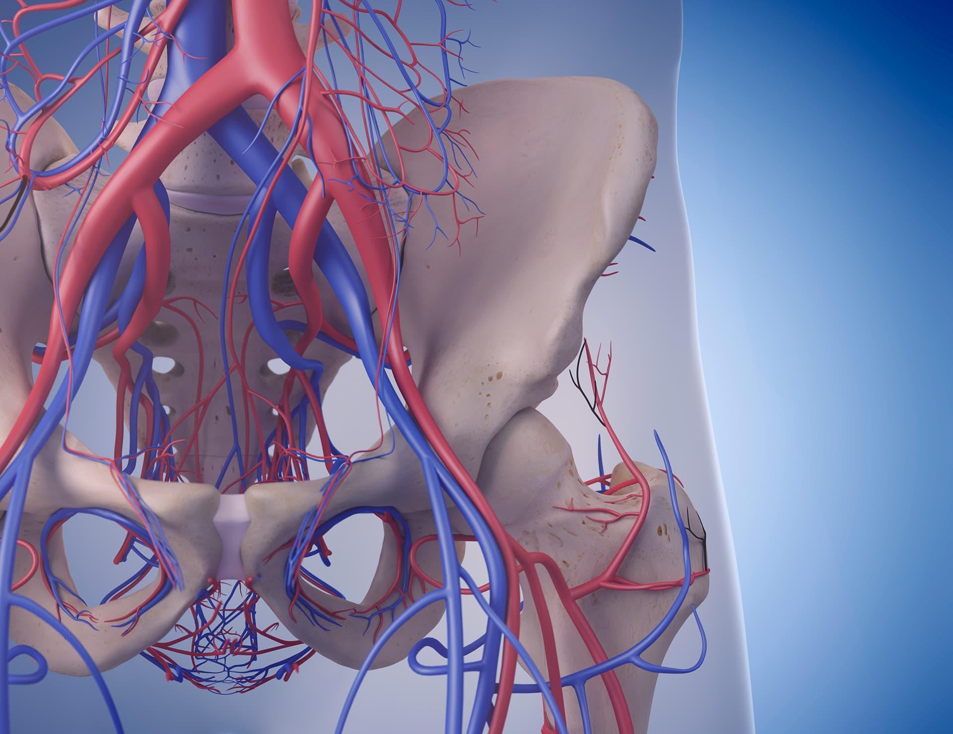 Schema de la vascularisation de la hanche