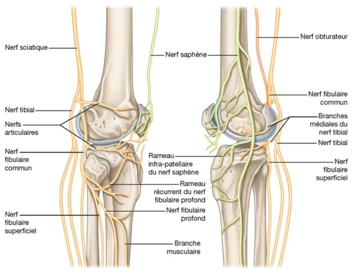 Schema de l'innervation du genou