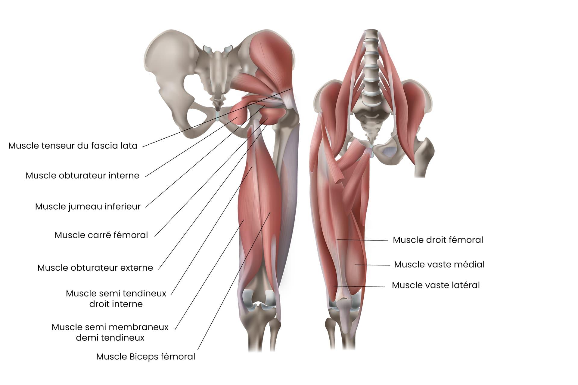 Schema anatomique des muscles du genou