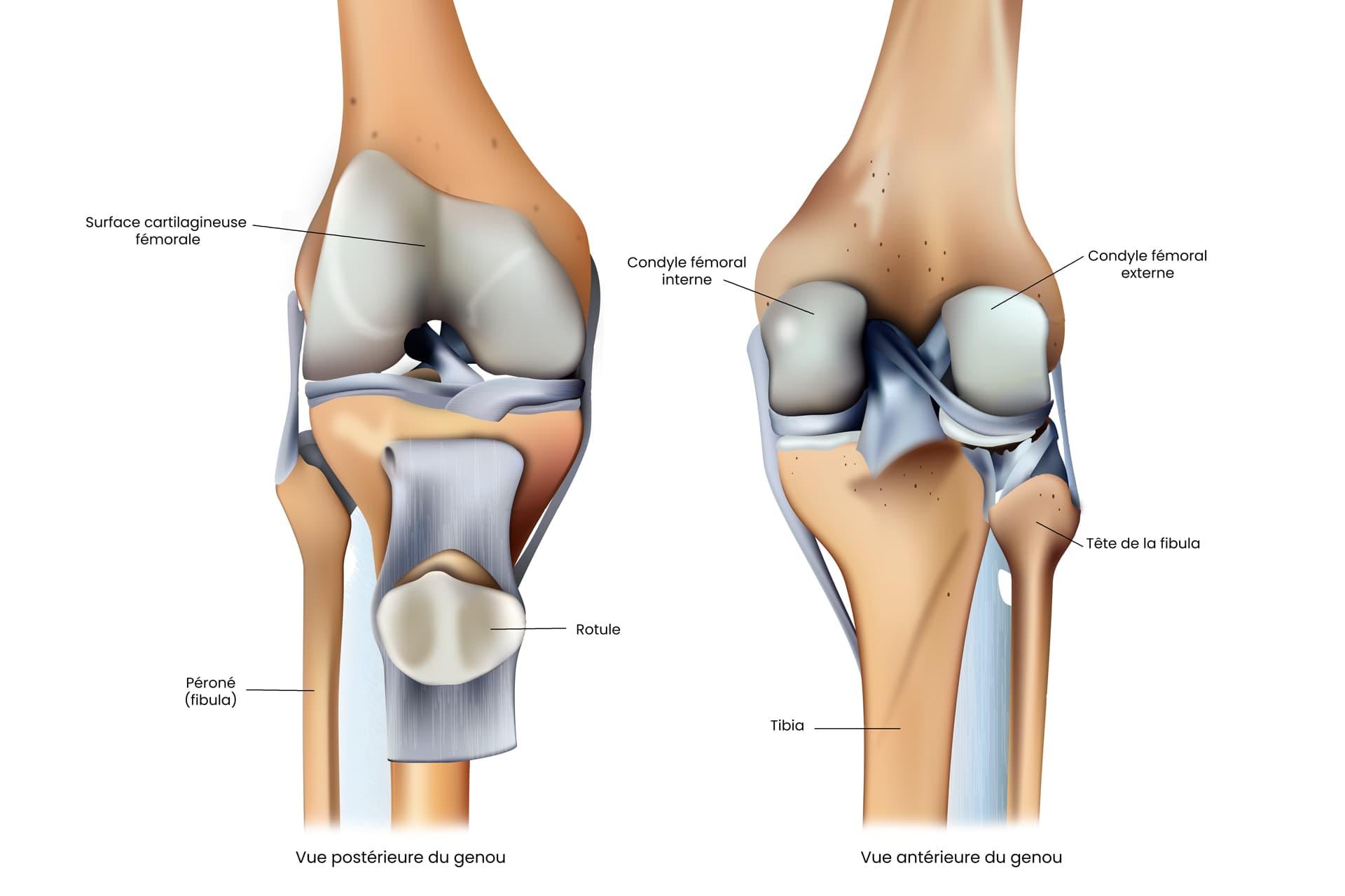 Schéma anatomique des os du genou